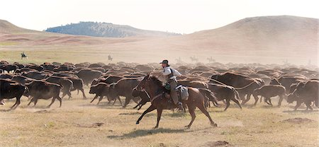Buffalo Roundup in Custer State Park, Black Hills, South Dakota, USA Stock Photo - Rights-Managed, Code: 862-06543394