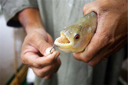 piranha fish - South America, Brazil, Amazonas, a fisherman holds a freshly caught Black or Red Eye piranha, Serrasalmus rhombeus, showing its sharp teeth Stock Photo - Rights-Managed, Code: 862-06675720