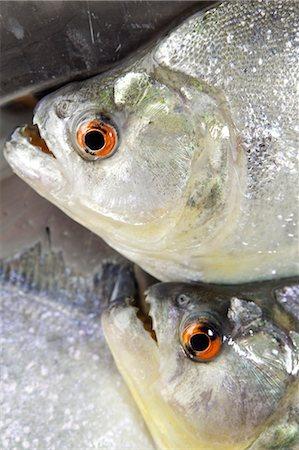 piranha fish - South America, Brazil, Amazonas, freshly caught Black or Red Eye piranha, Serrasalmus rhombeus, Stock Photo - Rights-Managed, Code: 862-06675721