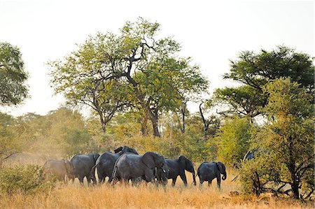 Africa, Namibia, Caprivi, Herd of elephants in the Bwa Bwata National Park Stock Photo - Rights-Managed, Code: 862-06677194