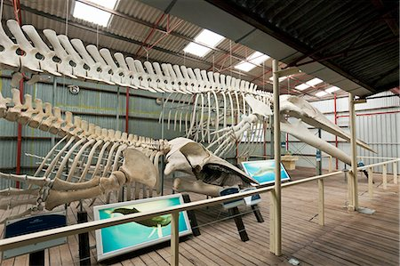 exhibition - Australia, Western Australia, Albany, Frenchman Bay.  Blue whale and Humpback whale skeletons at Whale World museum, at the former Cheynes Beach Whaling Station. Stock Photo - Rights-Managed, Code: 862-06824910