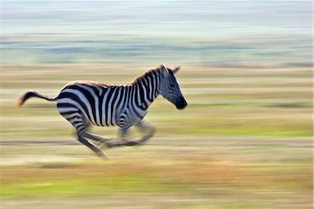 Kenya, Masai Mara, Narok County. Plains Zebra running from a predator. Stock Photo - Rights-Managed, Code: 862-07496069