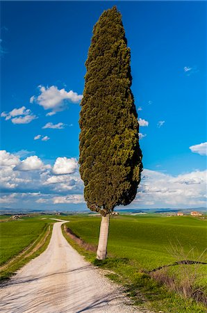 Lonely cypress tree, Corsanello, Siena, Tuscany, Italy Stock Photo - Rights-Managed, Code: 862-07650649