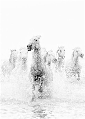 White horses of Camargue running through the water, Camargue, France Stock Photo - Rights-Managed, Code: 862-07690008