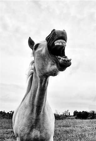 Grinning horse, Camargue, France Stock Photo - Rights-Managed, Code: 862-07690009