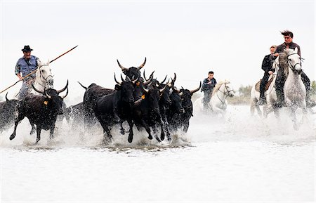 Black bulls of Camargue and their herders running through the water, Camargue, France Stock Photo - Rights-Managed, Code: 862-07690015