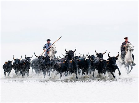 Black bulls of Camargue and their herders running through the water, Camargue, France Stock Photo - Rights-Managed, Code: 862-07690016