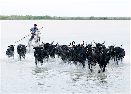 Black bulls of Camargue and their herder running through the water, Camargue, France Stock Photo - Rights-Managed, Code: 862-07690018