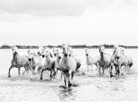 Camargue white horses galloping through water, Camargue, France Stock Photo - Rights-Managed, Code: 862-07690010