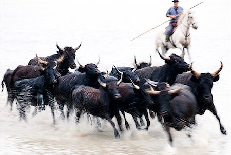 Black bulls of Camargue and their herder running through the water, Camargue, France Stock Photo - Rights-Managed, Code: 862-07690013