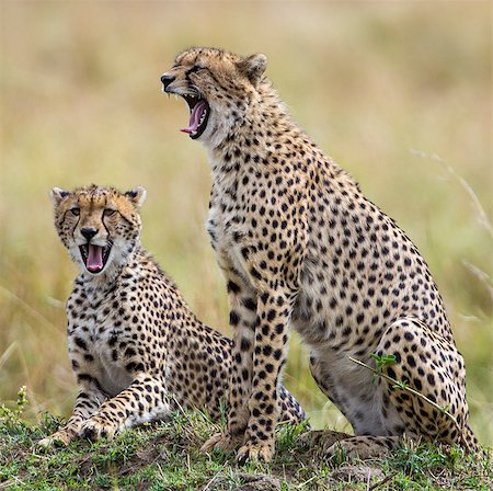 pictures cats - Kenya, Masai Mara, Narok County. Cheetahs yawn in unison. Stock Photo - Rights-Managed, Code: 862-07690339