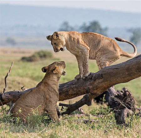 pictures cats - Kenya, Masai Mara, Narok County. Lion cubs play on a fallen tree trunk in Masai Mara National Reserve. Stock Photo - Rights-Managed, Code: 862-07690333