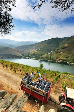 portugal - Grapes harvest along the Douro river, near Covelinhas. Alto Douro, a Unesco World Heritage Site, Portugal Stock Photo - Rights-Managed, Code: 862-07690674