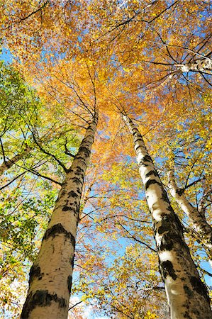 Birch trees. Autumn in the Serra da Estrela Nature Park, Portugal Stock Photo - Rights-Managed, Code: 862-07690705