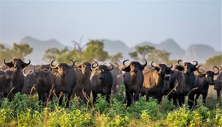 Uganda, Kidepo. One of many large herds of buffalo that can be seen in the Kidepo Valley National Park which covers 1,436  sq km of wilderness in the spectacular northeast of Uganda, bordering Southern Sudan. Stock Photo - Rights-Managed, Code: 862-07690943