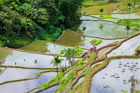 philippine terrace farming - Asia, South East Asia, Philippines, Cordilleras, Banaue; a local farmer working in the UNESCO World heritage listed Ifugao rice terraces near Banaue Stock Photo - Rights-Managed, Code: 862-07910419