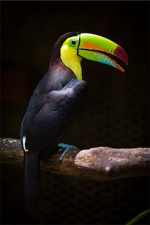 Costa Rica, Alajuela, La Fortuna. A Keel-Billed Toucan in the wildlife preserve at The Springs Resort and Spa. Stock Photo - Rights-Managed, Code: 862-08090075