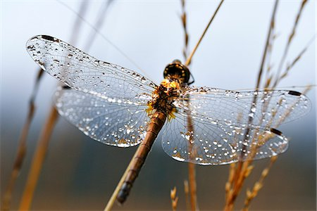 Dragonfly with dew drops on the wings clings to reed, Chiemgau, Upper Bavaria, Bavaria, Germany Stock Photo - Rights-Managed, Code: 862-08090237