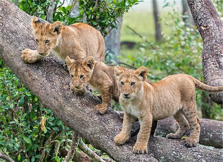 Africa, Kenya, Narok County, Masai Mara National Reserve. Lion cubs on a tree trunk. Stock Photo - Rights-Managed, Code: 862-08090788