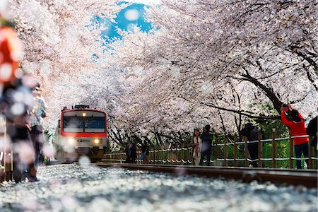 scenic and spring (season) - Asia, Republic of Korea, South Korea, Jinhei, spring cherry blossom festival, tree lined train line Stock Photo - Rights-Managed, Code: 862-08091128