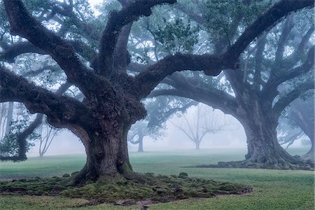 USA, Louisiana, St. James Parish, Vacherie, Oak Alley Plantation, live oak trees in the fog Stock Photo - Rights-Managed, Code: 862-08091526