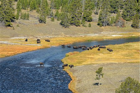 USA, Wyoming, Yellowstone National Park, Bison crossing firehole river Stock Photo - Rights-Managed, Code: 862-08091570