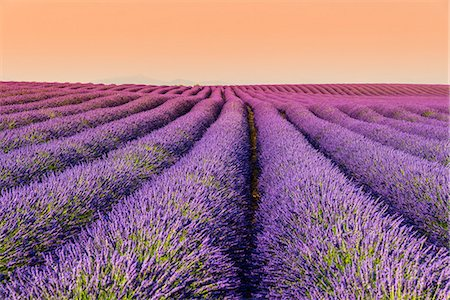 Lavender field at sunset, Plateau de Valensole, Provence, France Stock Photo - Rights-Managed, Code: 862-08273099