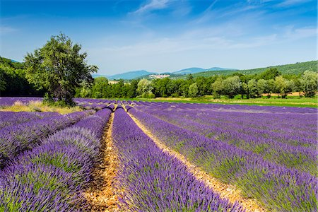 Lavender fields in bloom, Provence, France Stock Photo - Rights-Managed, Code: 862-08273102