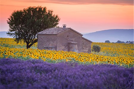 france - Provence, Valensole Plateau, France, Europe. Lonely farmhouse in a field full of sunflowers and lavander, sunset. Stock Photo - Rights-Managed, Code: 862-08273126