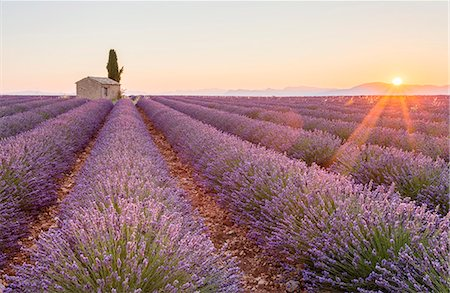 Provence, Valensole Plateau, France, Europe. Lonely farmhouse and cypress tree in a Lavender field in bloom, sunrise with sunburst. Stock Photo - Rights-Managed, Code: 862-08273127