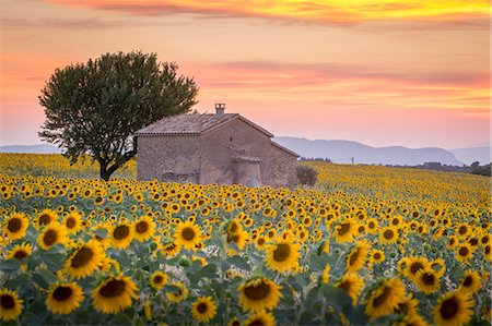 france - Provence, Valensole Plateau, France, Europe. Lonely farmhouse in a field full of sunflowers, lonely tree, sunset. Stock Photo - Rights-Managed, Code: 862-08273123