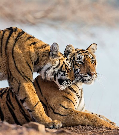 pictures cats - India, Rajasthan, Ranthambhore.  A female Bengal tiger is greeted by one of her one year old cubs. Stock Photo - Rights-Managed, Code: 862-08273247