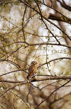 spotted - India, Rajasthan, Ranthambore. Spotted owlet. Stock Photo - Rights-Managed, Code: 862-08273310