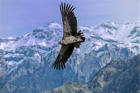 South America, Peru, Colca Canyon, soaring condor Stock Photo - Rights-Managed, Code: 862-08273762