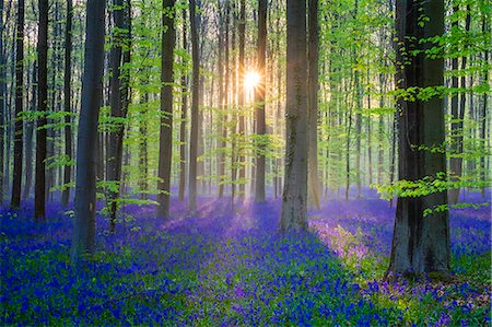 Belgium, Vlaanderen (Flanders), Halle. Bluebell flowers (Hyacinthoides non-scripta) carpet hardwood beech forest in early spring in the Hallerbos forest at dawn. Stock Photo - Rights-Managed, Code: 862-08698719