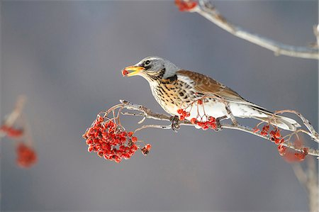 Lombardy, Italy. Fieldfare. Stock Photo - Rights-Managed, Code: 862-08698877