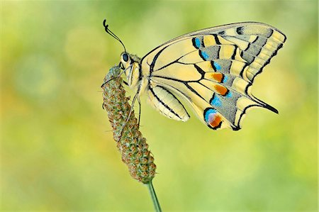 Parma, Emilia Romagna, Italy.  Macro photograph of Papilio machaon on a perch Stock Photo - Rights-Managed, Code: 862-08698914