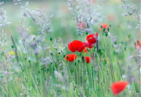 UK, Channel Islands, Guernsey. A study of poppies in a field. Stock Photo - Rights-Managed, Code: 862-08699057