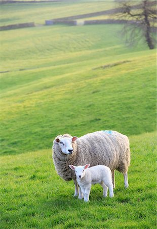 domestic sheep - England, Calderdale. Sheep and lamb standing in evening light. Stock Photo - Rights-Managed, Code: 862-08699083
