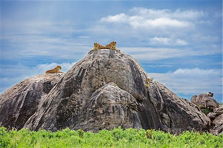 Tanzania, Northern Tanzania, Serengeti National Park. Lions keep watch for their prey on the top of large boulders in the Serengeti. Stock Photo - Rights-Managed, Code: 862-08705054