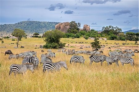 serengeti national park - Tanzania, Northern Tanzania, Serengeti National Park. During their annual migration, large herds of wildebeest and zebra graze the vast plains of the Serengeti. Stock Photo - Rights-Managed, Code: 862-08705051