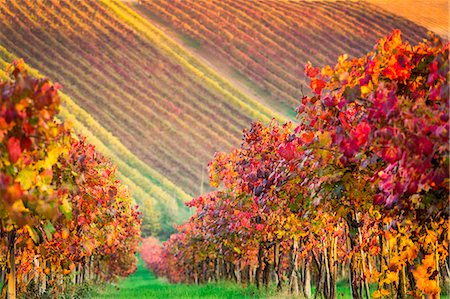 Castelvetro, Modena, Emilia Romagna, Italy. Sunset over the Lambrusco Grasparossa vineyards and rolling hills in autumn Stock Photo - Rights-Managed, Code: 862-08719053