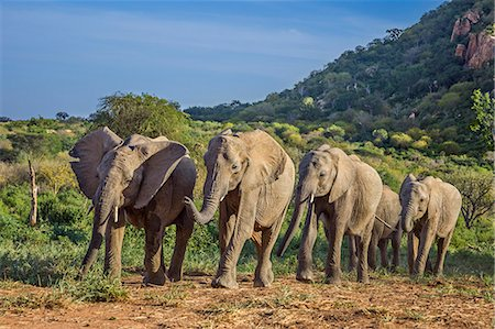 Kenya, Kitui County, Ithumba, Tsavo East National Park. A group of young orphaned elephants return to their protected pens in the late afternoon. Stock Photo - Rights-Managed, Code: 862-08719153