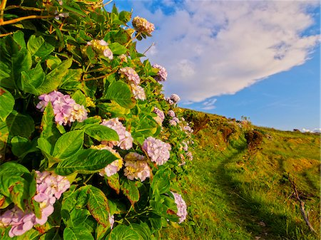 flores - Portugal, Azores, Flores, Hortensias on the path between Mosteiro and Lajedo villages. Stock Photo - Rights-Managed, Code: 862-08719363