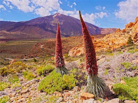 Spain, Canary Islands, Tenerife, Teide National Park, View of the Endemic Plant Tajinaste Rojo, Echium Wildpretii, and Teide Peak. Stock Photo - Rights-Managed, Code: 862-08719560