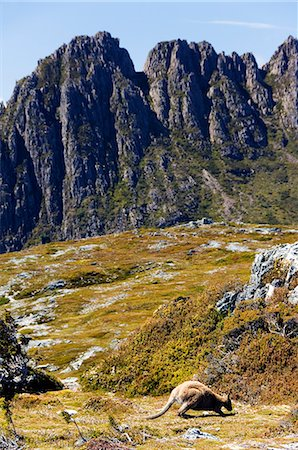 Australia,Tasmania. Peaks of Cradle Mountain (1545m) and a Wallaby feeding on shrubs on the Overland Track in 'Cradle Mountain-Lake St Clair National Park' - part of Tasmanian Wilderness World Heritage Site. Stock Photo - Rights-Managed, Code: 862-03289068