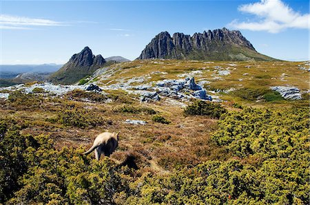 Australia,Tasmania. Peaks of Cradle Mountain (1545m) and a Wallaby running through the bush on the Overland Track in 'Cradle Mountain-Lake St Clair National Park' - part of Tasmanian Wilderness World Heritage Site. Stock Photo - Rights-Managed, Code: 862-03289069