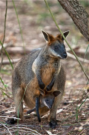 Australia,Victoria. A wallaby and her joey on Phillip Island. Stock Photo - Rights-Managed, Code: 862-03289114