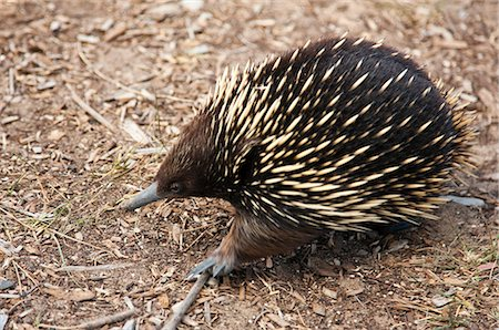 spike - Australia,Victoria. A short-nosed echidna or spiny anteater. Stock Photo - Rights-Managed, Code: 862-03289110