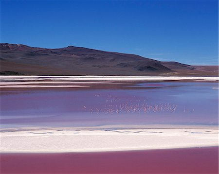 Flamingos feed on the algae-rich waters of Laguna Colorada. The distinctive red colour of this high altitude lagoon is due to the high concentration of algae whilst deposits of borax form a white fringe to the lake. Colorada is the biggest nesting site of the rare James flamingo and also hosts large concentrations of Chilean and Andean flamingos. Stock Photo - Rights-Managed, Code: 862-03289452